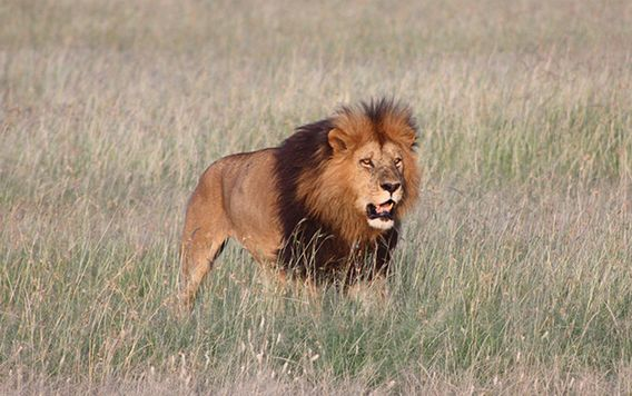 male lion walking through grassy field