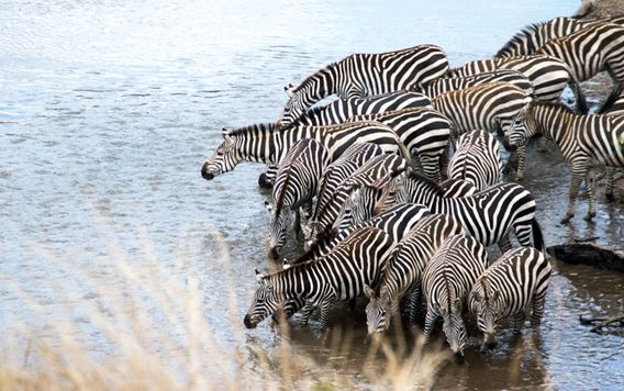 heard of zebras drinking water in a river