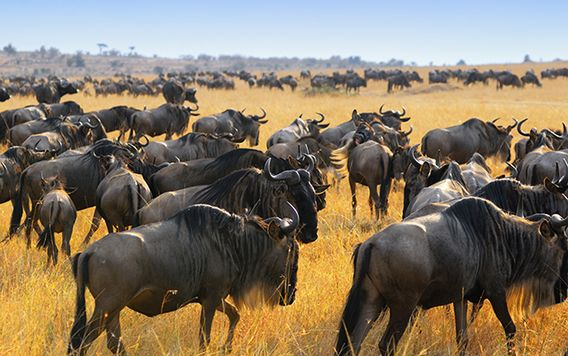 heard of wildebeest migrating in africa