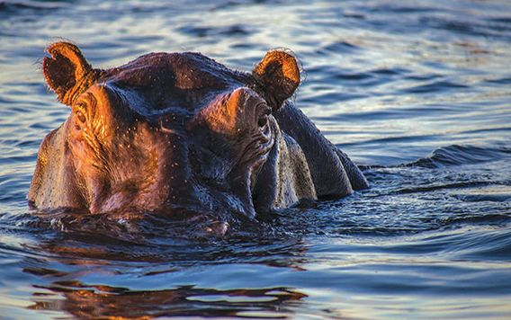 hippo with nose under water with sun rise glare on water