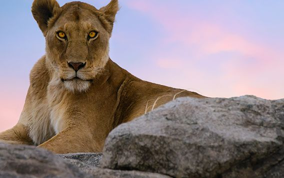 female lion sitting on rock gazing at camera during sunset