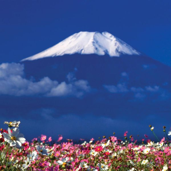 pink and white flower field with mount fuji blurred out in background
