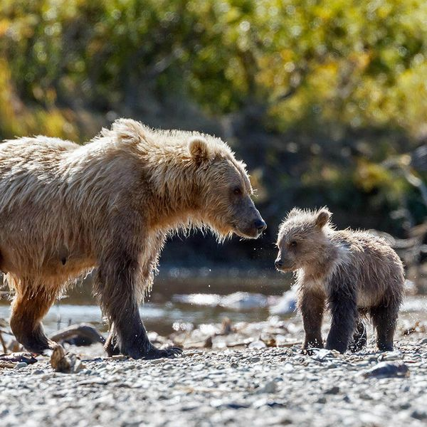 brown bear and cub on edge of river