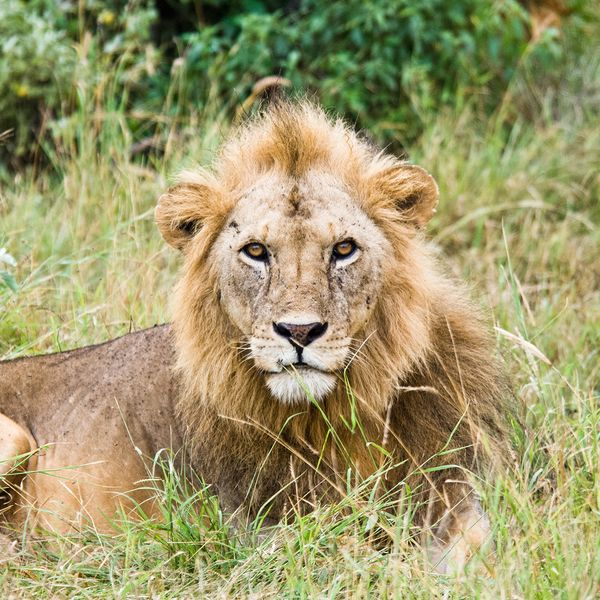 lion sitting in the grass in tanzania