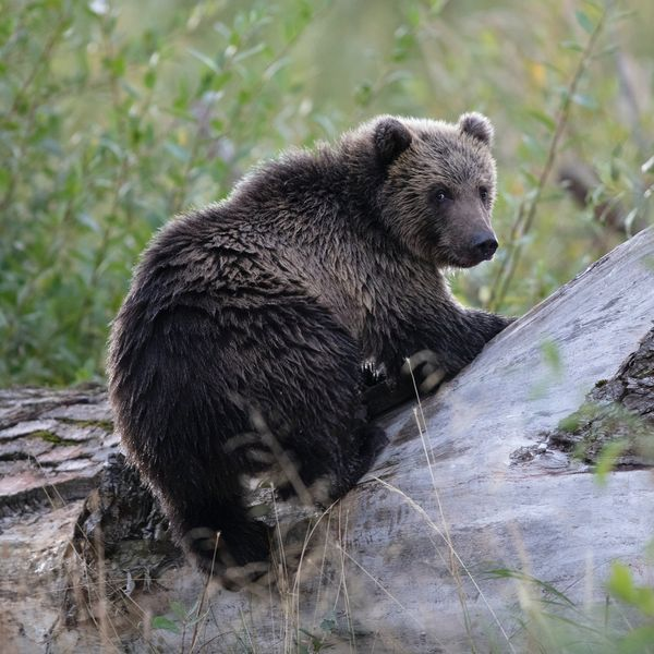 a kodiak brown bear