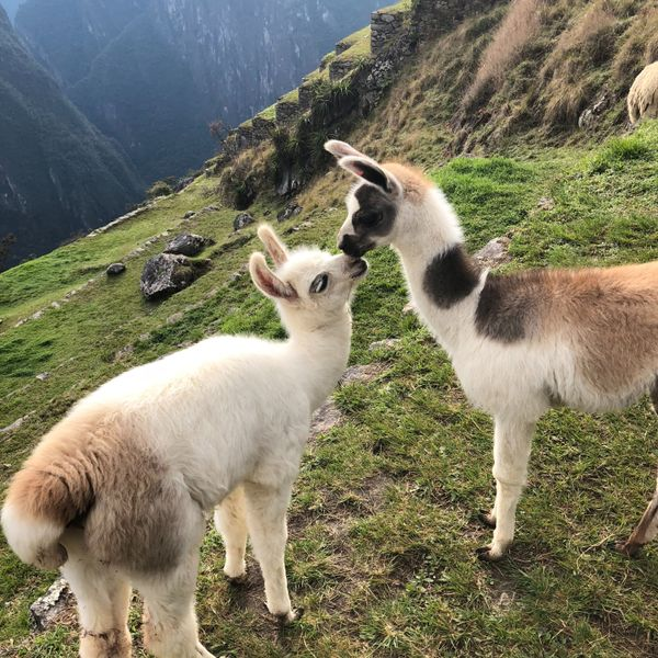 baby llamas on a hill at machu picchu in peru