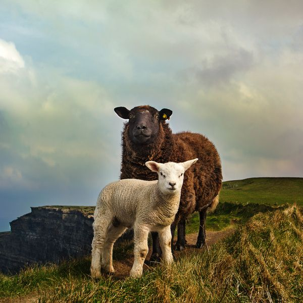 a white lamb and brown sheep standing in a field in Ireland