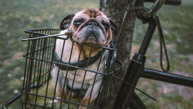 A dog in a bicycle basket
