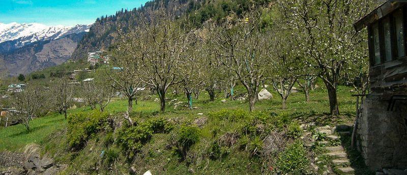 Apple trees in Manali, India.