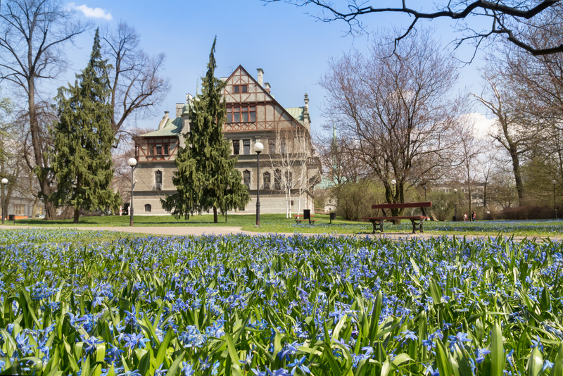 Blooming blue squill in the Klepacz park in city of Lodz, Poland