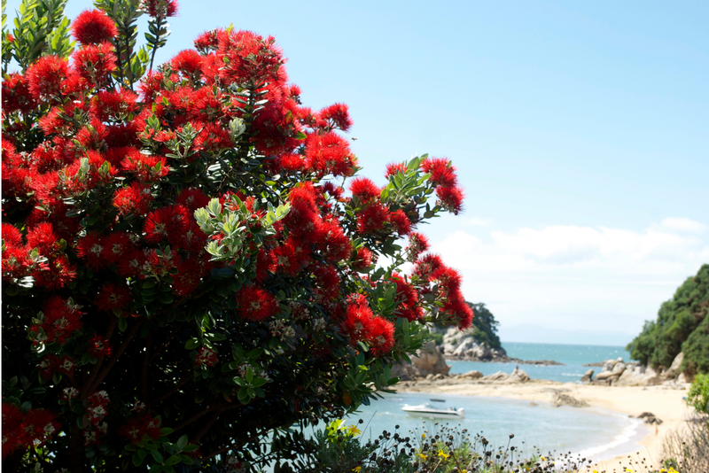 The New Zealand Pohutukawa Tree in bloom on a summer's day with a beach in the background