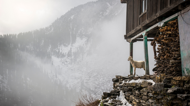 A goat in the mountains in Manali, India.
