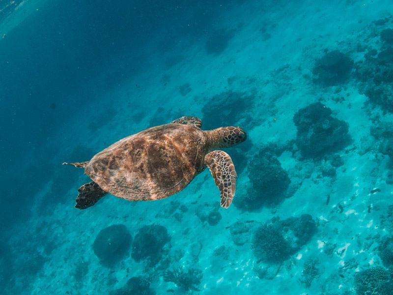 Turtle at Lady Elliot Island, Queensland
