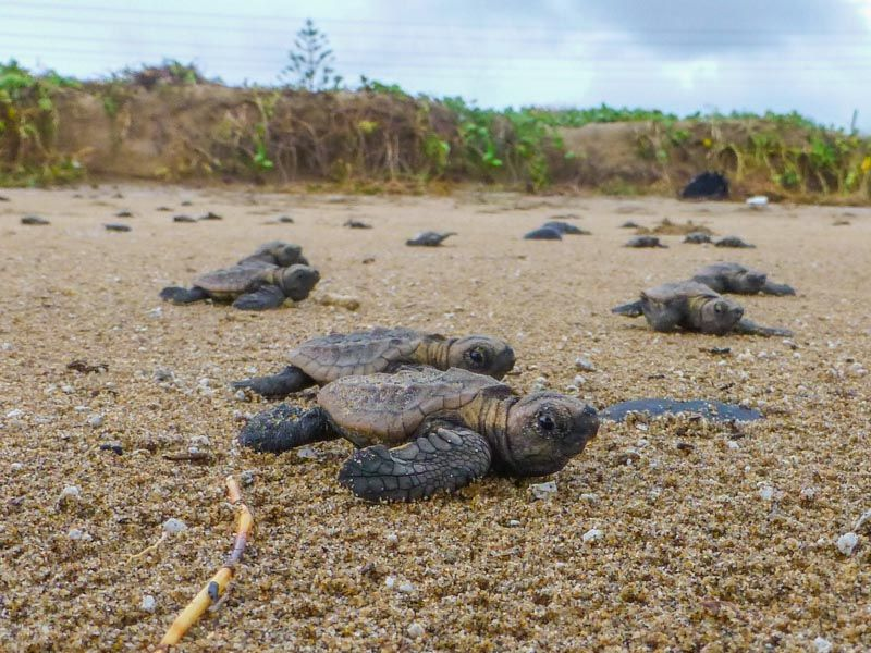 Baby Loggerhead turtles at Mon Repos, Bundaberg