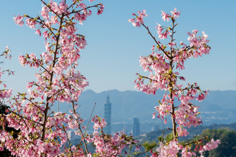Spring blossoms with Taipei skyline in background