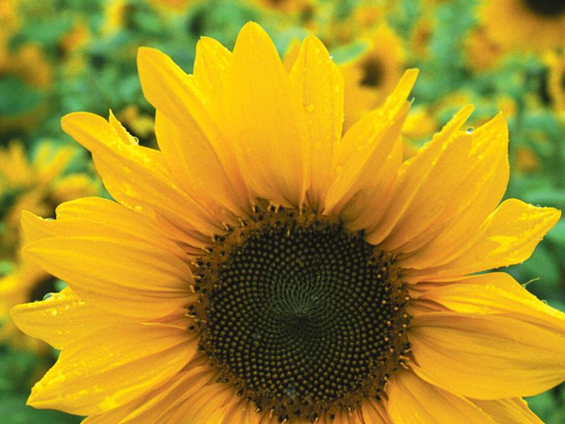 close up of yellow sunflower in field