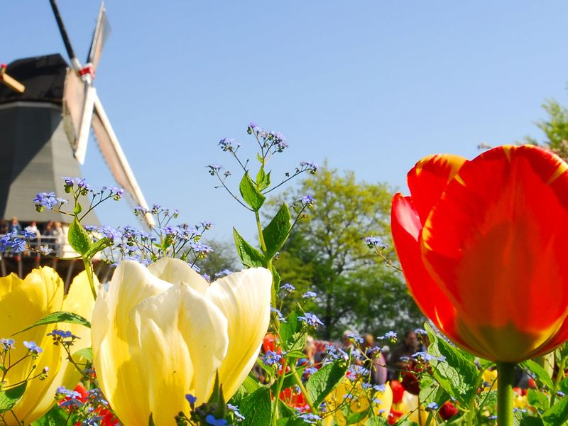 close up of yellow and red tulips in field with group of people standing on windmill in background