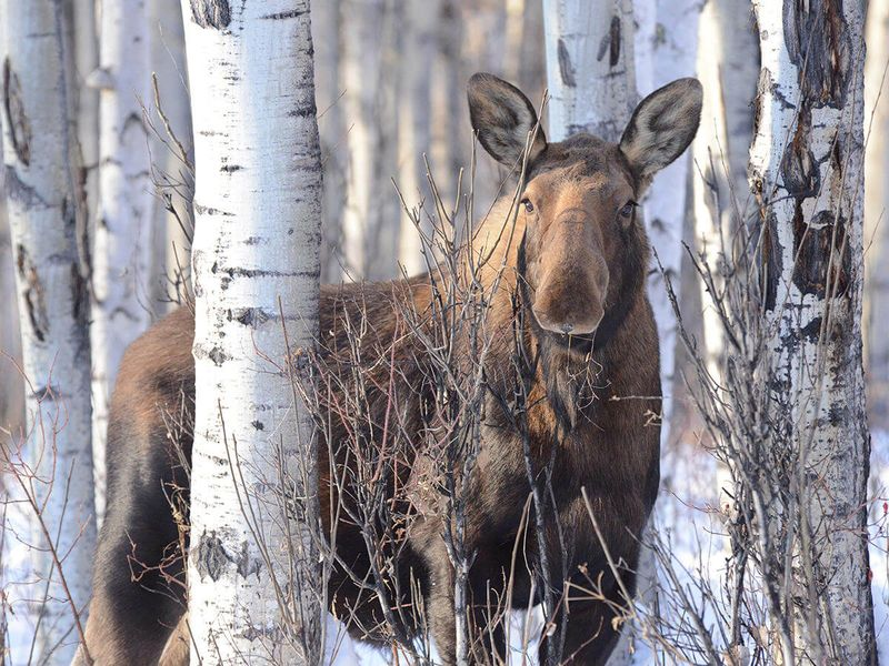 moose in birch tree forest during winter