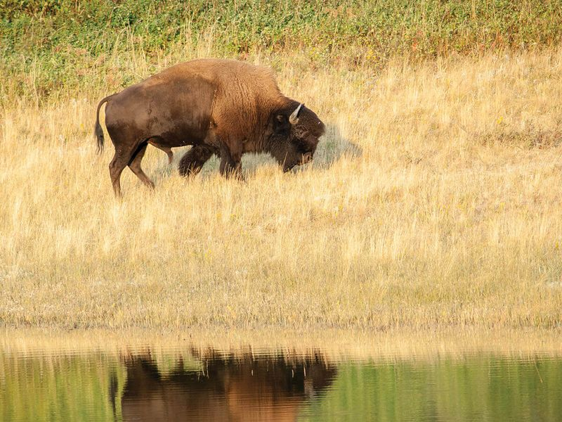 brown buffalo grazing in tan field with reflection of it in river