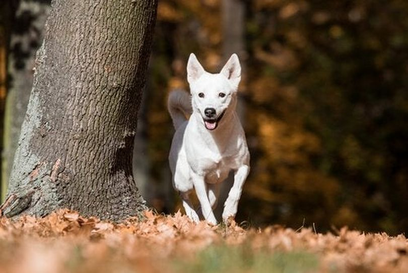 Primary image of Canaan Dog dog breed