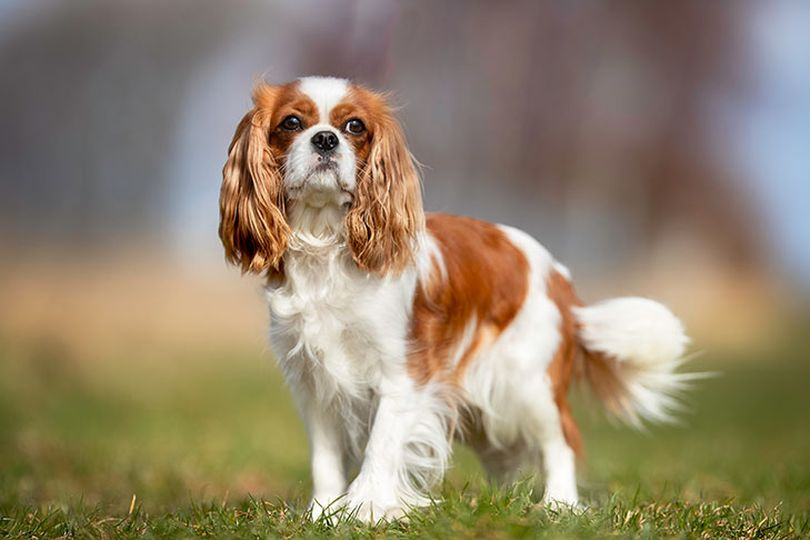 Primary image of Cavalier King Charles Spaniel dog breed