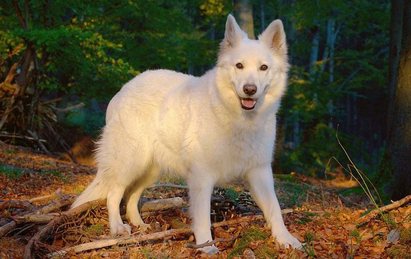 Primary image of Berger Blanc Suisse dog breed