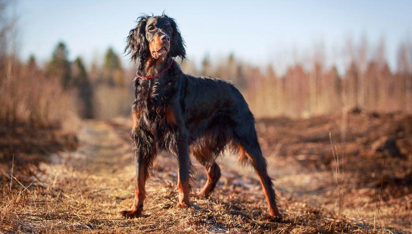 Primary image of Gordon Setter dog breed