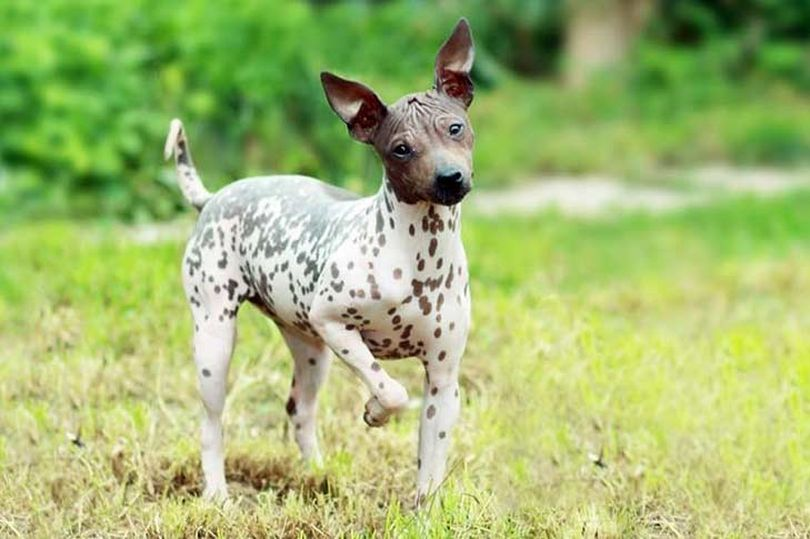 Primary image of American Hairless Terrier dog breed
