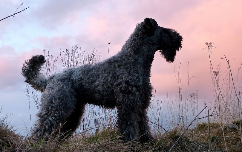 Primary image of Kerry Blue Terrier dog breed