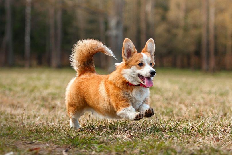 Primary image of Pembroke Welsh Corgi dog breed