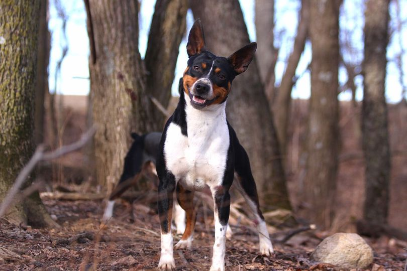 Primary image of Rat Terrier dog breed