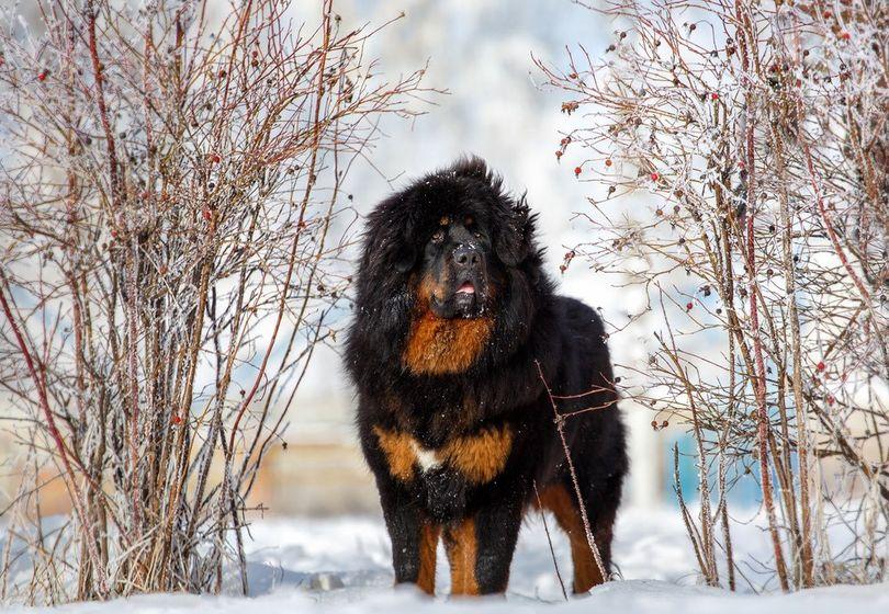 Primary image of Tibetan Mastiff dog breed