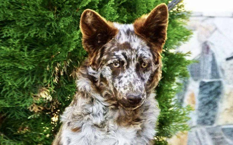 Primary image of Mudi dog breed