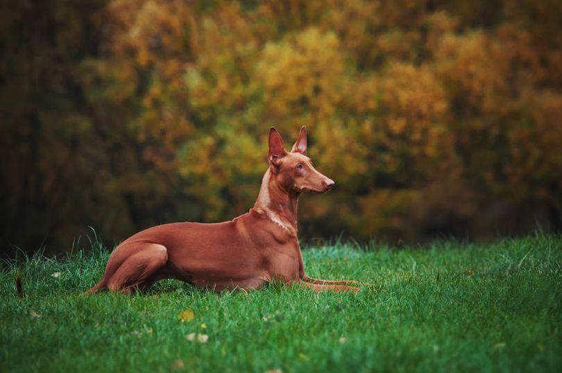 Primary image of Pharaoh Hound dog breed
