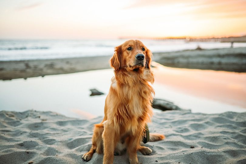 Primary image of Golden Retriever dog breed