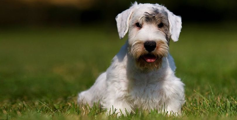 Primary image of Sealyham Terrier dog breed