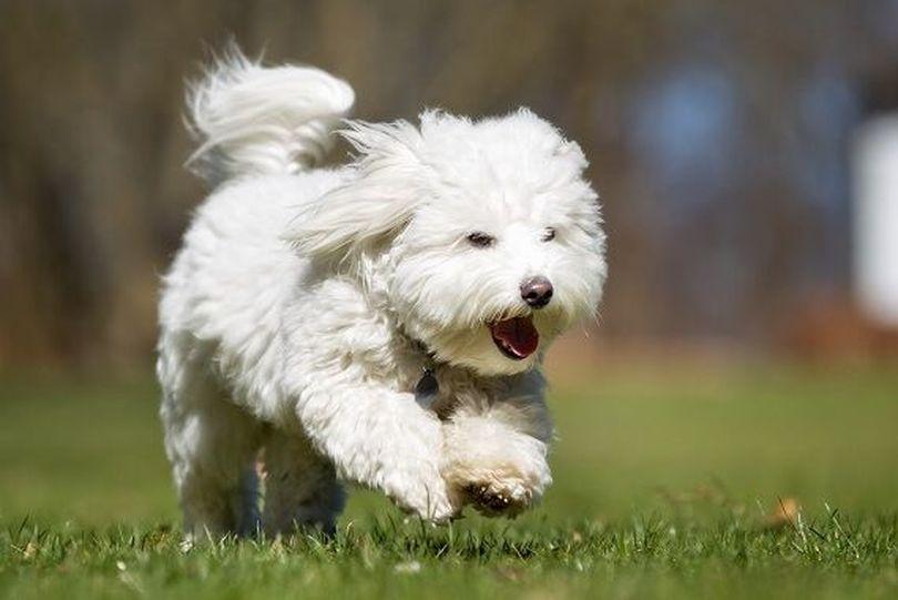 Primary image of Coton de Tulear dog breed