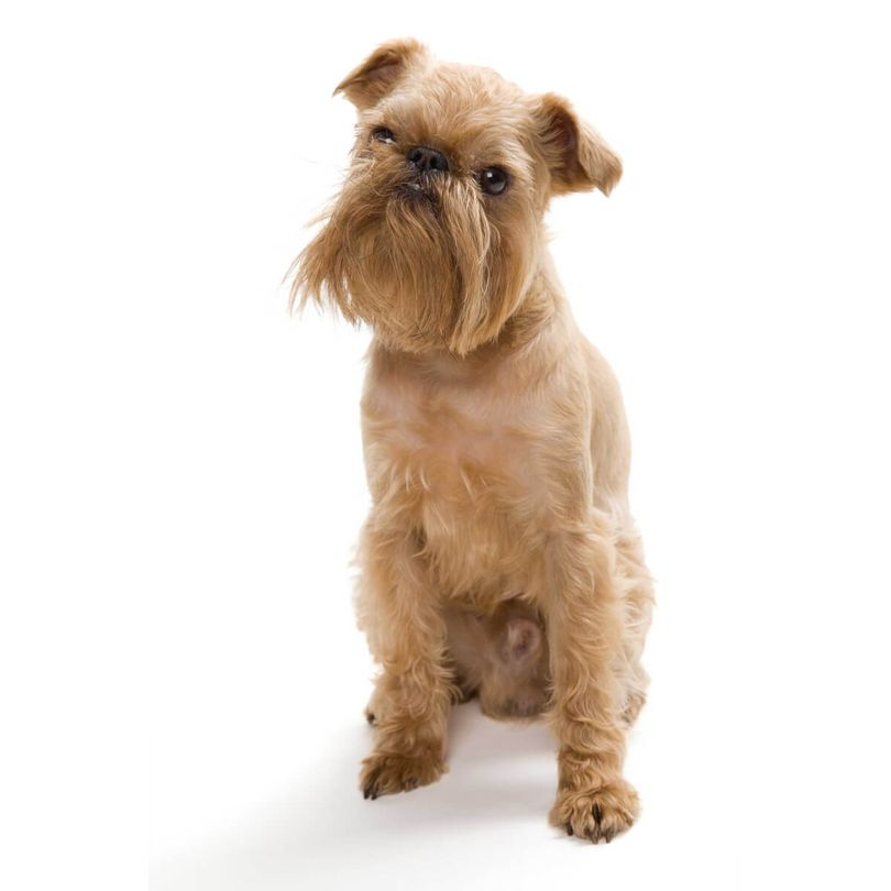 Primary image of Brussels Griffon dog breed