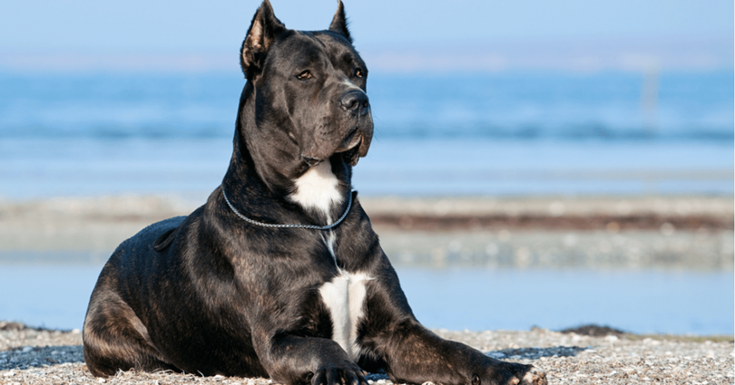 Primary image of Cane Corso dog breed