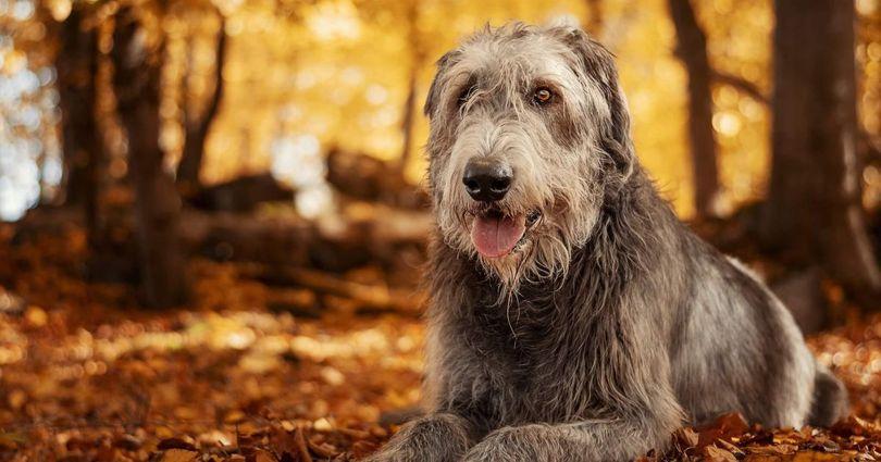 Primary image of Irish Wolfhound dog breed
