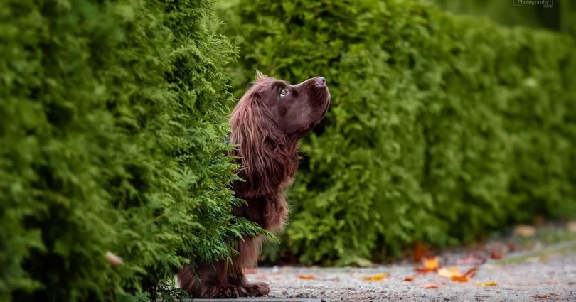 Primary image of Sussex Spaniel dog breed