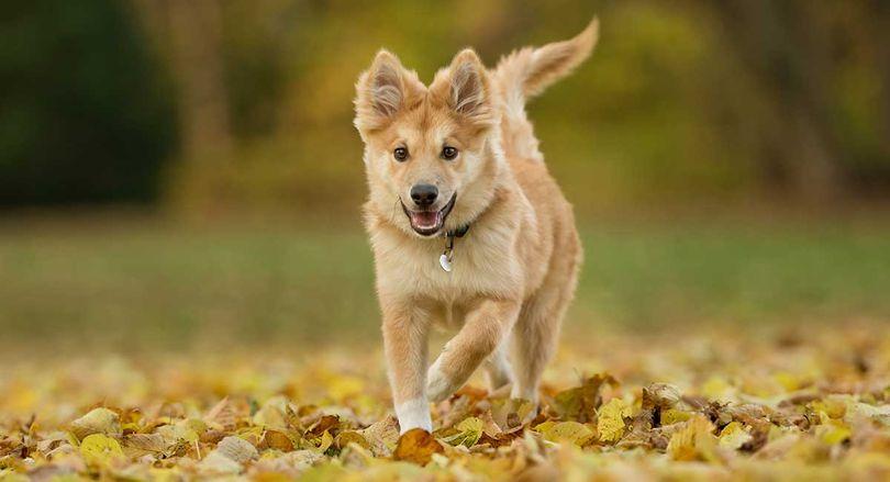 Primary image of Icelandic Sheepdog dog breed