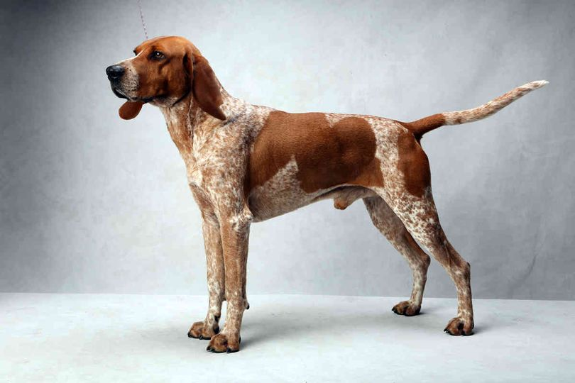 Primary image of American English Coonhound dog breed