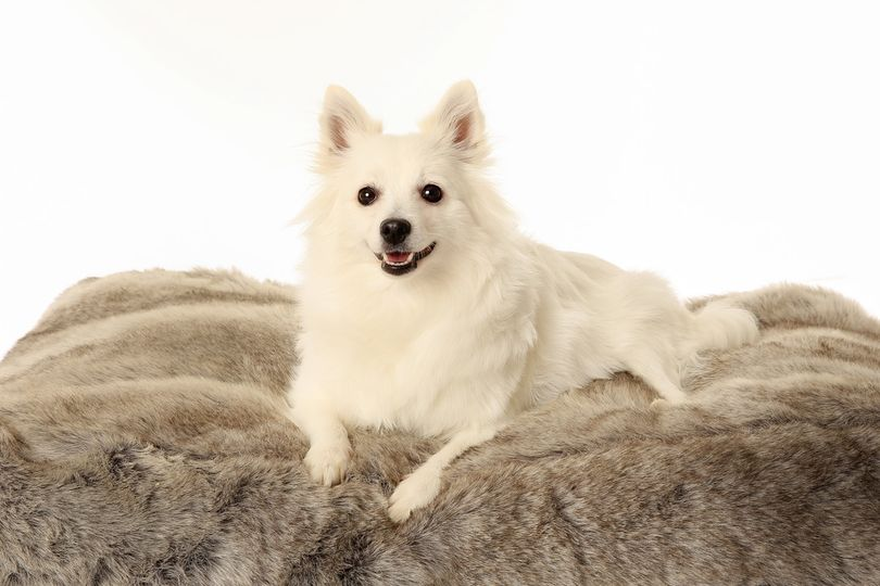 Primary image of Volpino Italiano dog breed