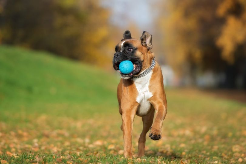 Primary image of Boxer dog breed
