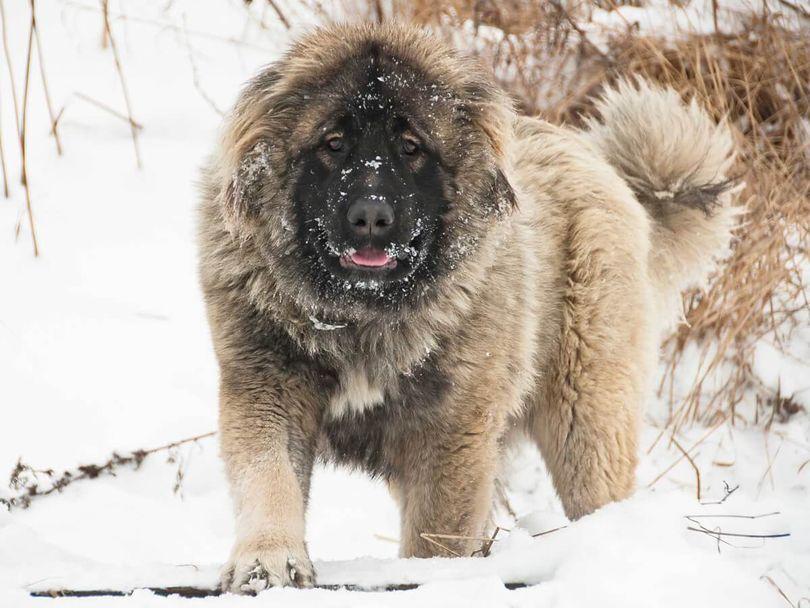 Primary image of Caucasian Shepherd Dog dog breed