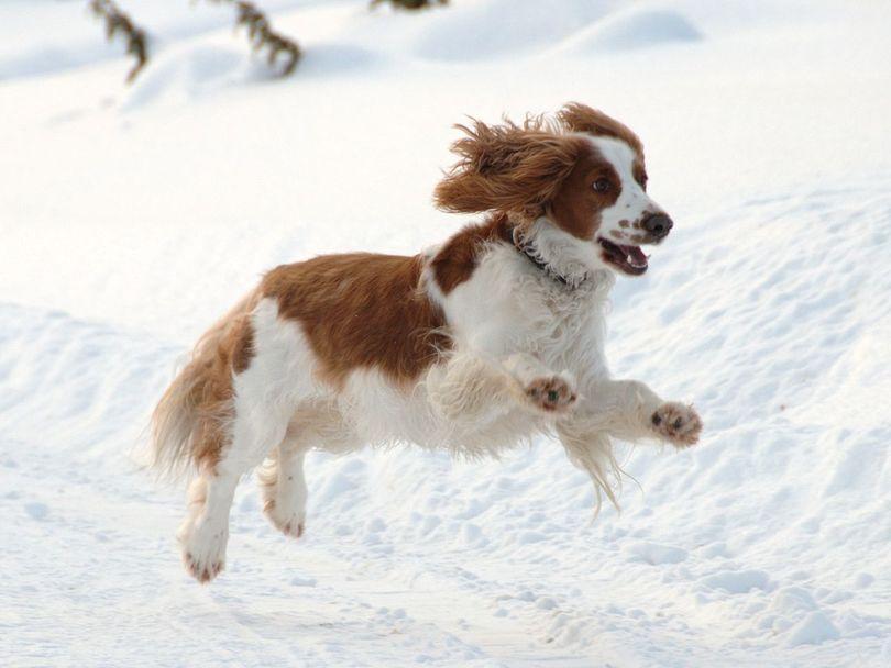 Primary image of Welsh Springer Spaniel dog breed