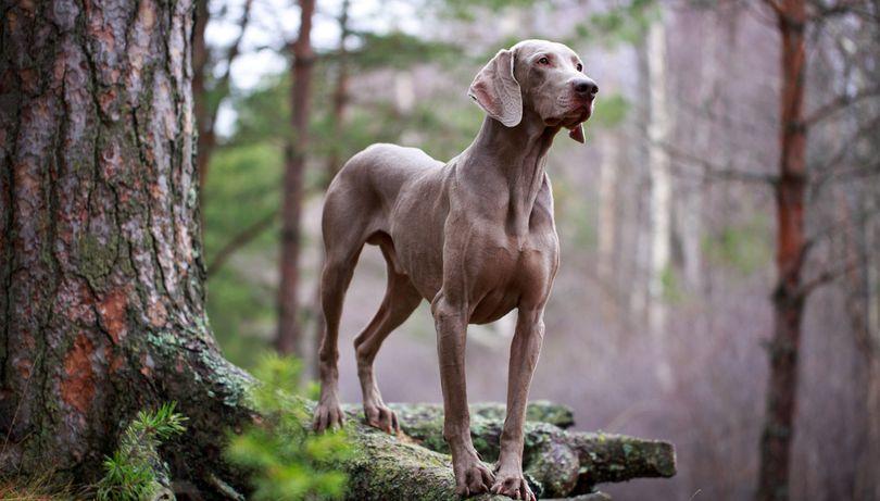 Primary image of Weimaraner dog breed
