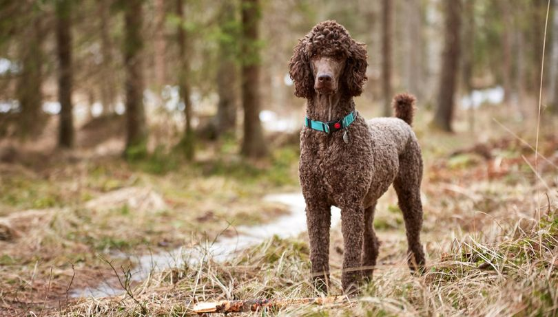 Primary image of Poodle dog breed