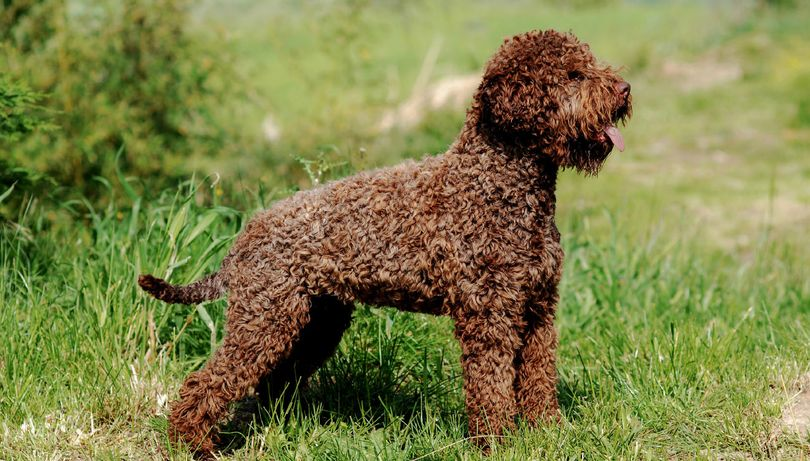 Primary image of Lagotto Romagnolo dog breed